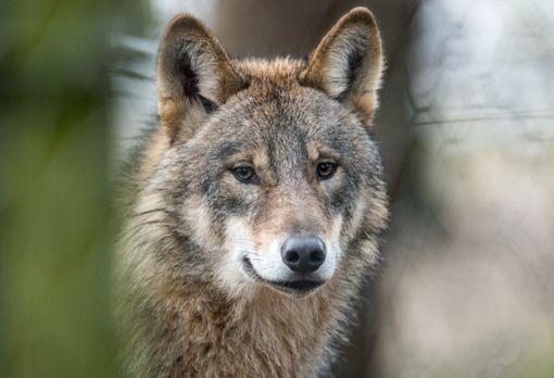 Die Forderkulisse Wolf ist im Nordschwarzwald in Kraft getreten. (Symbolfoto) Foto: Thissen