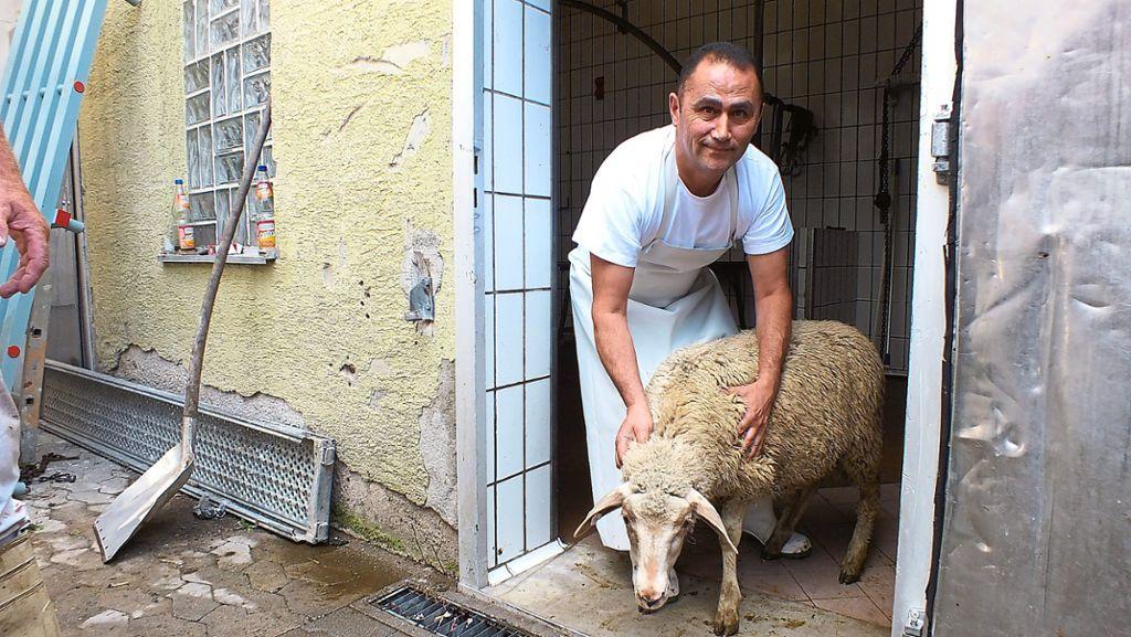 Schafe Schlachten