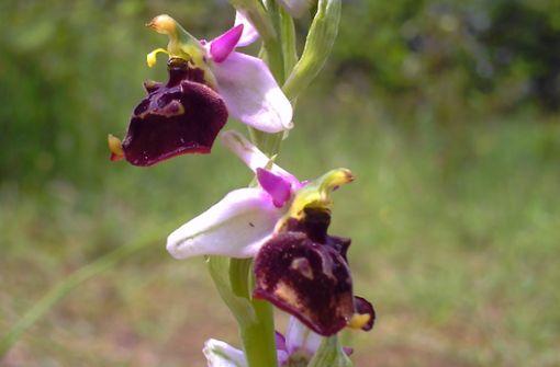 Auch Hummelragwurz-Orchideen wurden in Taubergießen ausgegraben. Foto: pixabay