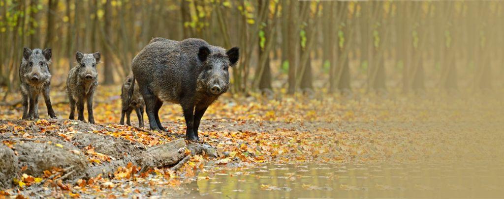 calw wildschweine w ten in garten in hirsau calw schwarzw lder bote. Black Bedroom Furniture Sets. Home Design Ideas