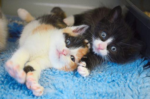 Kleine Babykätzchen werden oft schnell adoptiert. Aber auch ihre älteren Artgenossen freuen sich über ein neues Zuhause. Foto: Schwarzwälder Bote