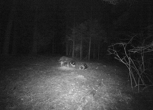 Kein Wolf, sondern ein Hund wurde von einer Wildkamera bei Niedereschach gefilmt. Foto: Repro: Bantle