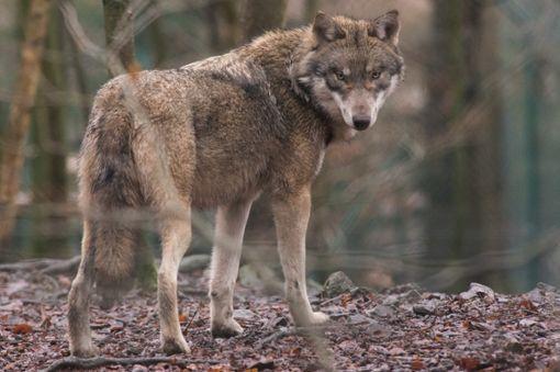 Gefährdet der Wolf die Schwarzwälder Kulturlandschaft?  Foto: Gabbert