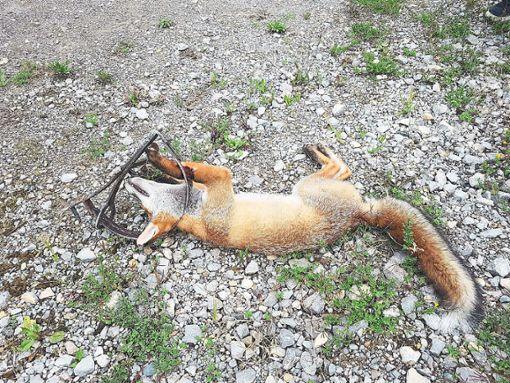 Der junge Fuchs, der in die Falle getreten war, musste von der Polizei von seiner Qual erlöst werden.  Foto: Tierschutzverein