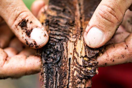 Die Larven der Borkenkäfer  ernähren sich von den saftführenden Schichten des Baums in der Rinde (Bastgewebe). Da diese Schicht die Lebensader des Baumes darstellt, führt der Befall meist zu dessen Absterben.  Foto: Alexandra Wey