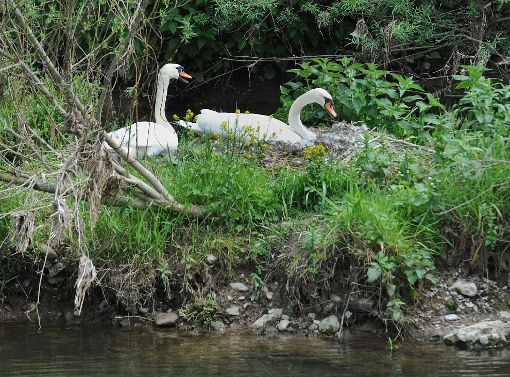 Ein zweites Schwanenpaar brütet derzeit beim Neckarbad in Richtung Mühlen. Foto: Hopp
