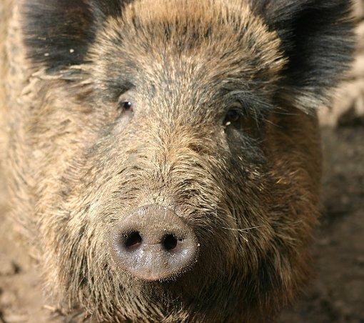 Ein Wildschwein hat Spaziergänger zwischen Hüfingen und Bräunlingen verfolgt. (Symbolfoto) Foto: Schröder