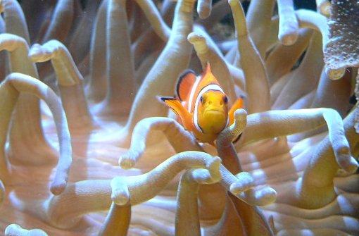 Fische und Reptilien können im strongAlbaquarium/strong in strongEbingen/strong bestaunt werden. Zu sehen gibt es unter anderem Piranhas und Höhlenfische, aber auch Riesenschlangen und Kaimane. Mehr unter a href=http://www.albaquarium.de target=_blankstrongwww.albaquarium.de/strong/a. Foto: Schwarzwälder-Bote