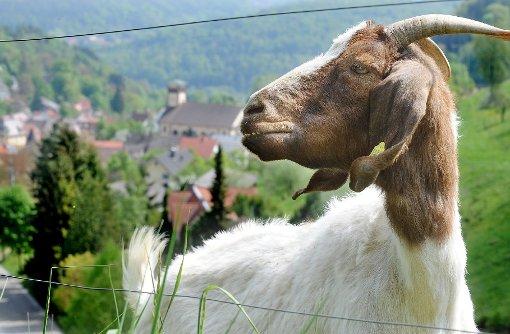 Ziegen und Schafe haben am Dienstagmorgen den Straßenverkehr in Horb behindert. (Symbolfoto) Foto: Hopp