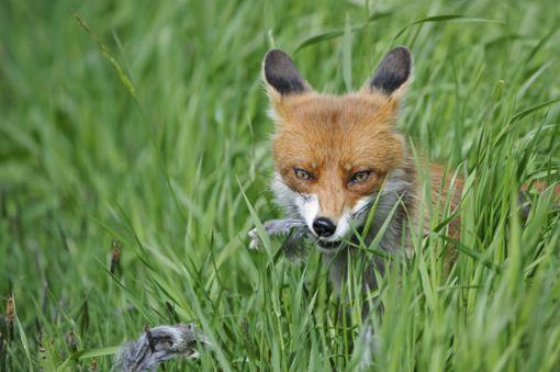 Füchse haben in Schramberg Hühner und Enten getötet. (Symbolfoto) Foto: Deutscher Jagdverband
