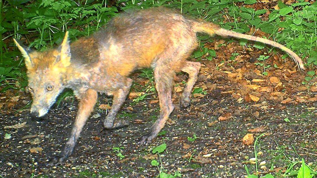 Schramberg: Fälle von Fuchsräude entdeckt - Schwarzwälder Bote - Schwarzwälder Bote