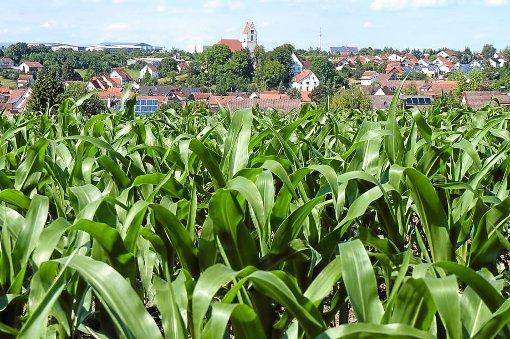Im Maisfled sind die Pflanzen gut versteckt und werden daher oft nur zufällig gefunden. (Symbolfoto) Foto: Stopper