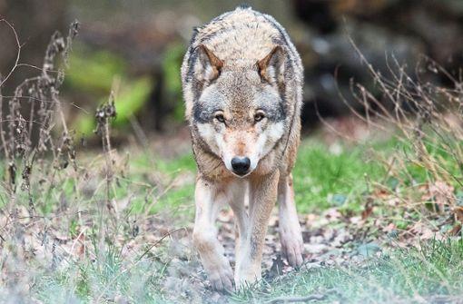 Noch wandert er alleine: der Kinzigtäler Grauwolf bekommt womöglich bald Gesellschaft. Unser Symbolbild zeigt einen Artgenossen des  Schwarzwälder Wolfs.   Foto: Symbolfoto: Stratenschulte