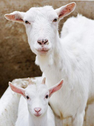 Schafen tut der Erreger des Q-Fiebers nichts – Menschen schon eher.   Foto: Pleul
