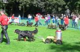 Hunde meistern Slalomparcours