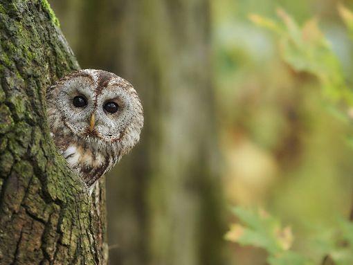 Wird durch die Umfahrung auch der Lebensraum des Waldkauzes tangiert? Dies will ein Anwohner wissen.  Foto: Kühn Foto: Schwarzwälder-Bote