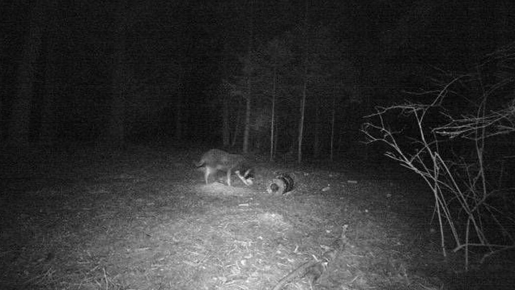 Niedereschach: Geht bei Fischbach ein Wolf um? - Schwarzwälder Bote