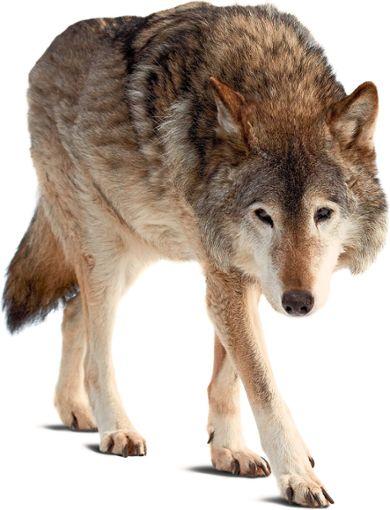 Einer Anwohnerin in Neuweiler ist beim Verlassen ihrer Wohnung in den frühen Morgenstunden der Wolf begegnet. Das Tier saß im Abstand von zirka 40 Metern seelenruhig im Schein einer Straßenlaterne und ergriff erst die Flucht, als es von einem Rolladengeräusch erschreckt wurde. Foto: © JackF – stock.adobe.com