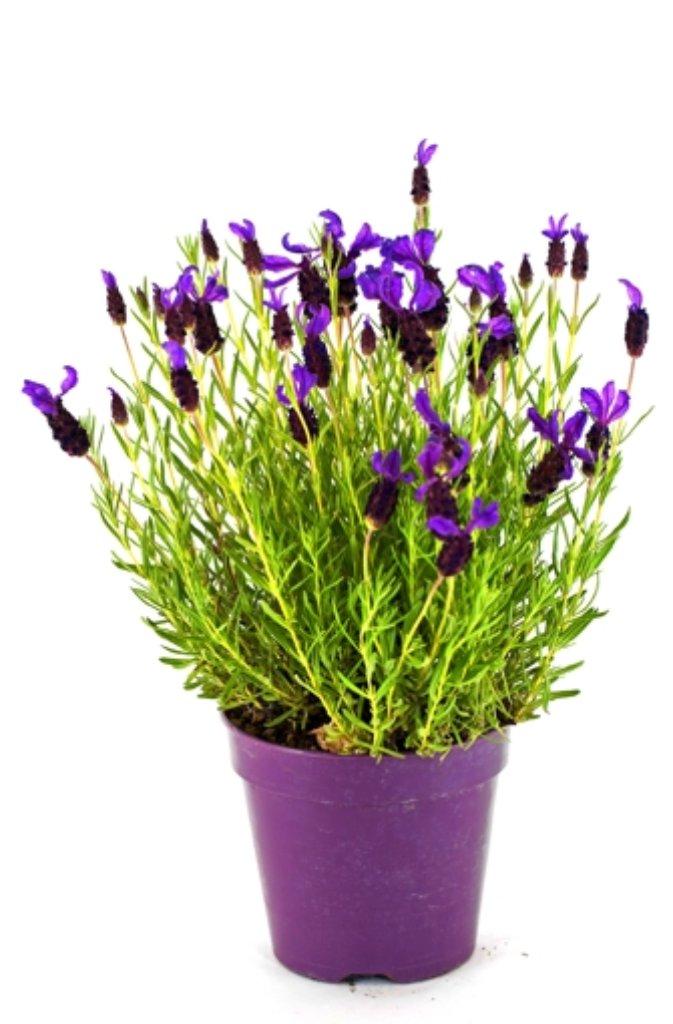 oleander vertr gt leichten frost bis minus 5 grad celsius. Black Bedroom Furniture Sets. Home Design Ideas