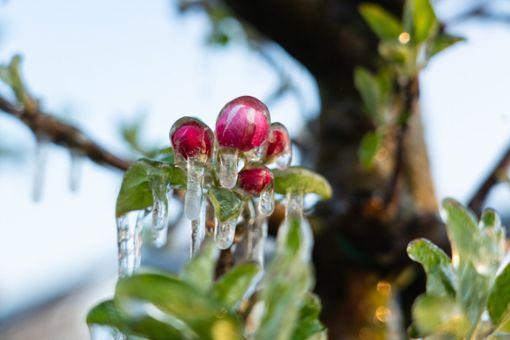 Eine Apfelblüte ist nach einer Frostschutzberegnung mit Eis bedeckt. Zum Schutz vor Frostschäden wurden die Obstbäume mit einer Berieselungsanlage beregnet, damit sich ein Eispanzer um die Blüten bildet, der die zarten Blätter vor tieferen Temperaturen schützen soll. Foto: dpa