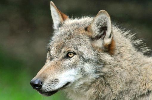 Seit 2015 gibt es in Baden-Württemberg wieder Wolfssichtungen. (Symbolfoto) Foto: dpa
