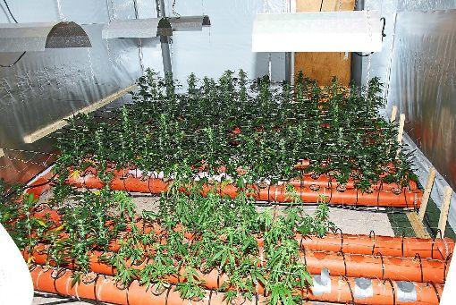Eine professionelle Plantage fanden die Beamten in dem Haus.  Foto: Polizei