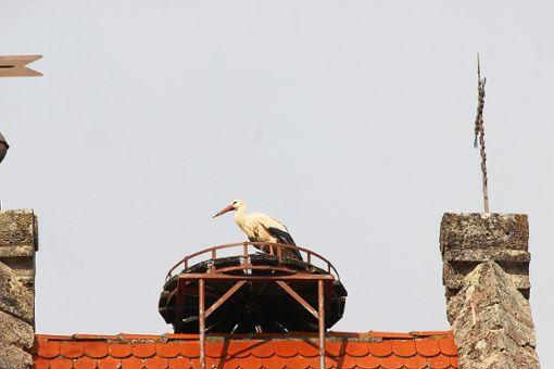 Das Storchenmännchen kommt in der Regel ein bis zwei Wochen früher als das Weibchen. Foto: Moosmann