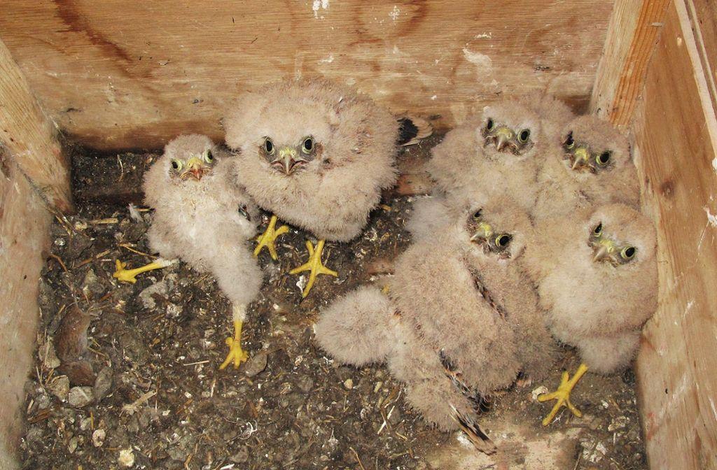 Winterlingen: Kuckuckskind ist adoptiert worden - Albstadt