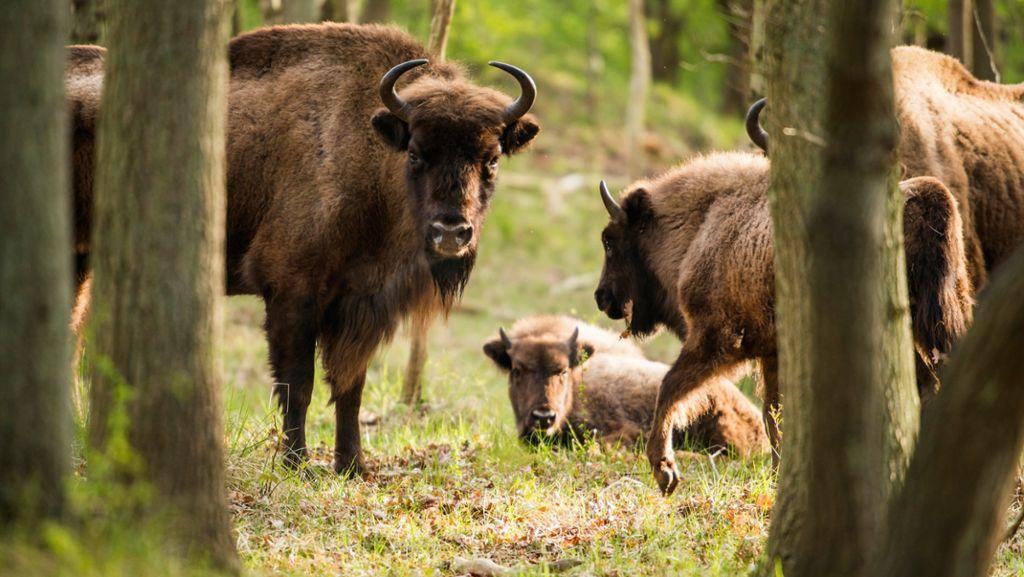 Nordschwarzwald: Geplanter Wildtierpark beim Nationalpark steht vor dem Aus - Schwarzwälder Bote