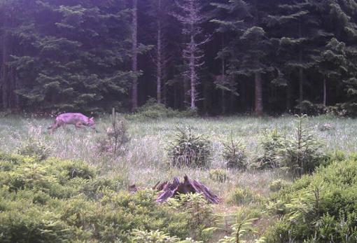 Dieses Bild zeichnete die Wildkamera von dem Wolf im Wald bei Forbach auf. Foto: Walz