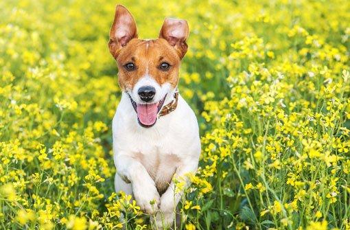 Ein Jack-Russell-Terrier hat in Villingen einen Jungen gebissen. (Symbolfoto) Foto: Smit/ Shutterstock
