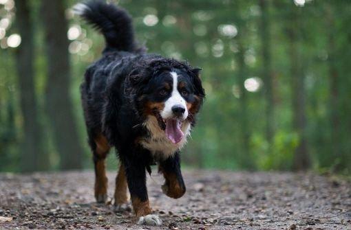 Zwei Hunde sind am Donnerstag in Göppingen vergiftet worden. Ein Tierquäler hatte mit Rattengift vermengtes Hackfleisch an einem Feldweg ausgelegt. Die Polizei warnt Hundehalter davor, die Tiere in dieser Gegend frei laufen zu lassen.  Foto: dpa/Symbolbild