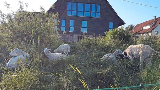 Für viele der Tiere gibt es bereits Interessenten, Enten, Wachteln und Kaninchen konnten schon vermittelt werden und auch die Schafe warten auf den Umzug.   Foto: Verein