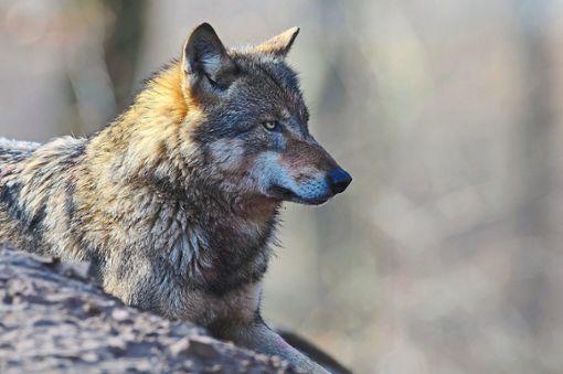 War ein Wolf in Kaltbrunn unterwegs? Foto: Rolfes/DJV