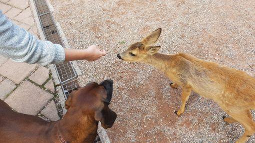Jagdhund Leila und Rehkitz Lilly verstehen sich blendend. Wenn es allerdings ums Futter geht, hört die Freundschaft auf. Foto: Schreider