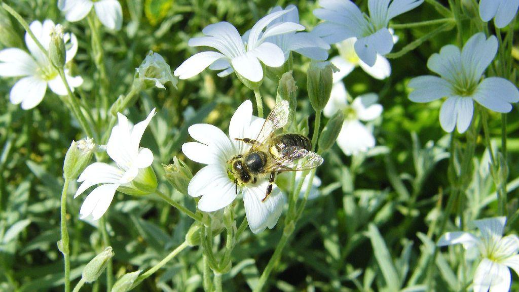 die gr te bedeutung haben honigbienen aber weil sie pflanzen best uben und daf r sorgen dass. Black Bedroom Furniture Sets. Home Design Ideas