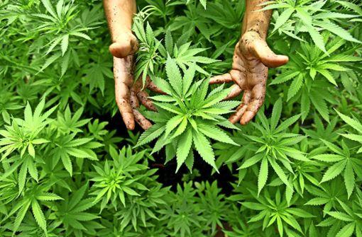 Insgesamt 27 Pflanzen waren in einem fast erntereifen Zustand und wurden sichergestellt. (Symbolfoto) Foto: dpa