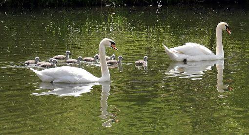 Die Horber Schwanenfamilie. Am Sonntag schwammen sie in Richtung Ihlingen. Haben sie sich jetzt etwa dort angesiedelt? Foto: Hopp