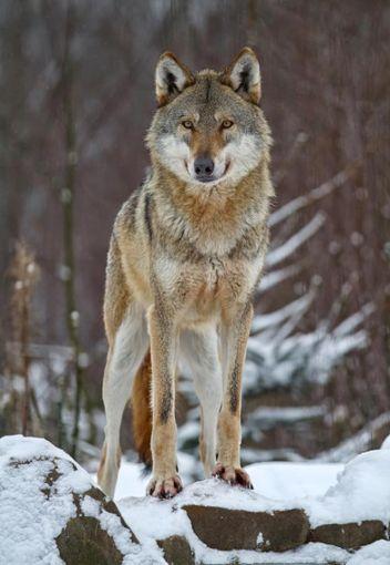 Im Kreis war ein Wolf unterwegs. (Symbolfoto) Foto: © rafi – stock.adobe.com