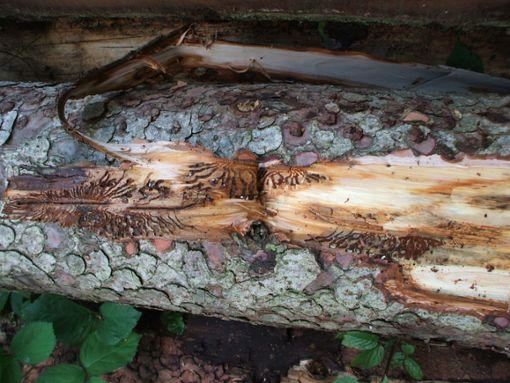 Die Borkenkäfergefahr hat  zugenommen.  Foto: Forstamt Foto: Schwarzwälder Bote