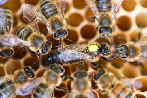 Zum Schutz der Bienen wird in Baden-Württemberg ein Volksbegehren gestartet. Foto: Gabbert